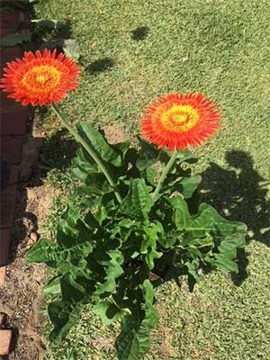 Gerbera Research Group Growth Stage 4